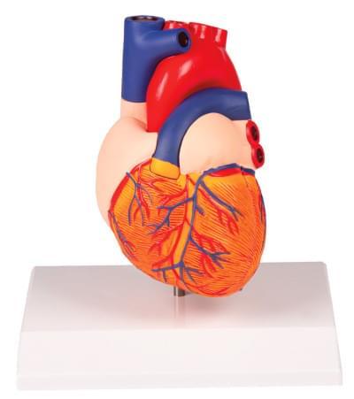 G310 - Model srdca v životnej veľkosti, 2 časti
