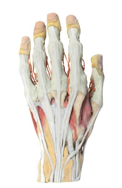 MP1530 - Anatómia ruky