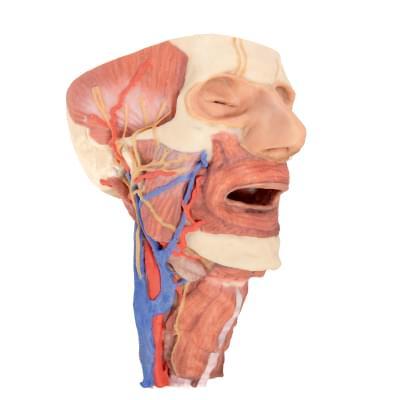 MP1670 - Hlava a viscerální prostor krku