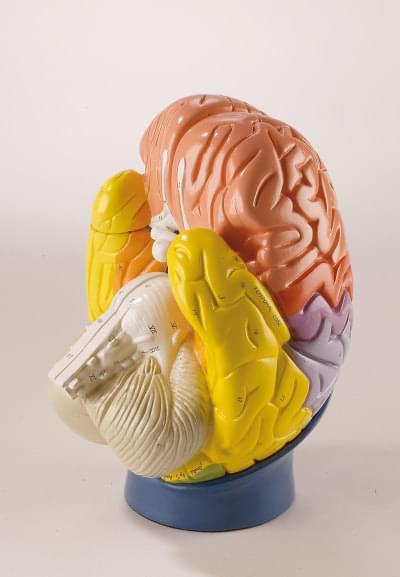 R10122 - Časti mozgu