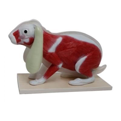 Model králíka